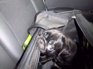 Trying to look all innocent whilst chewing his transport bag on the way home form the breeder